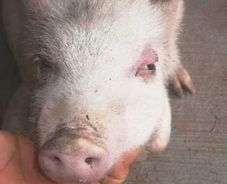 猪水肿、不吃不喝,注射此针剂是治疗的第一步!
