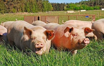 上海新辟崇明基地确保香港市场活中猪供应