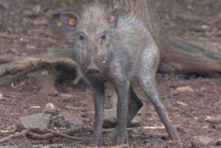 """""""世界上最丑的猪""""惊现科学家镜头, 数量稀少极其稀有"""