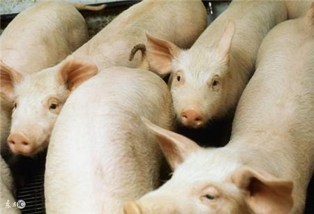 猪肠道菌群关系!这才是影响猪生长性能的关键因素!