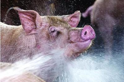 猪中毒了怎么办?快看不同中毒阶段、不同解毒方法!