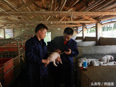 猪场产房管理十要点,每一点都是经典!
