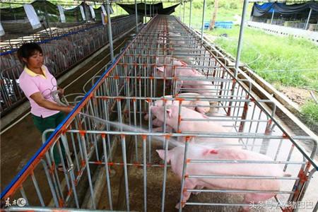"""猪场管理:""""三个基本点""""做到,养猪生产""""太厉害""""!"""