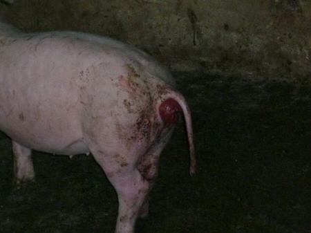 猪脱肛,痛苦不安,淘汰?还是手术?