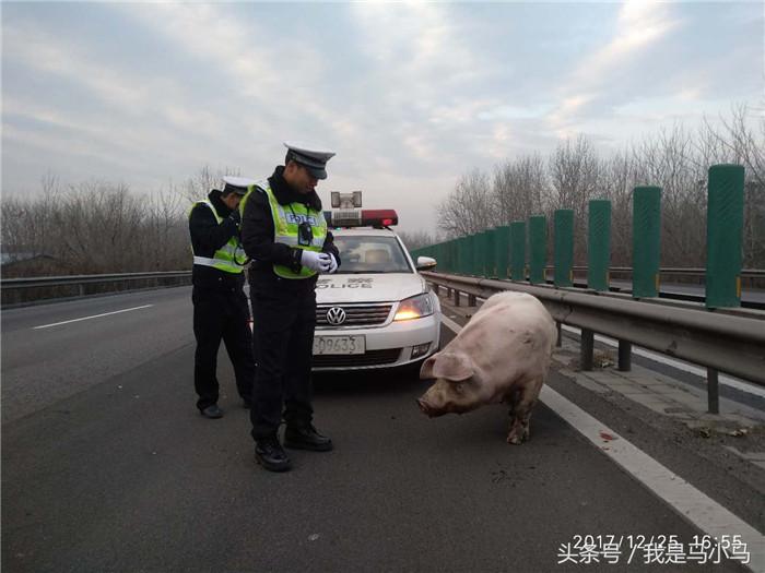 因这段高速路周围没有村庄,民警怀疑这是过往拉猪车掉落的。一面联系相关部门排查寻找这辆拉猪车,一面民警勘察事故现场。