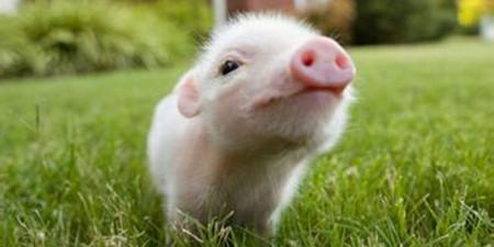 外媒:三年来中国悄悄划定了两个波兰大小的养猪禁区