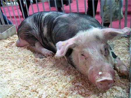 防重于治!这几种中毒疾病,都是由于猪场管理没做好!