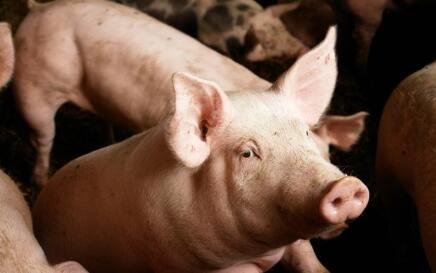 基因编辑——让猪器官离人体移植应用更近一步