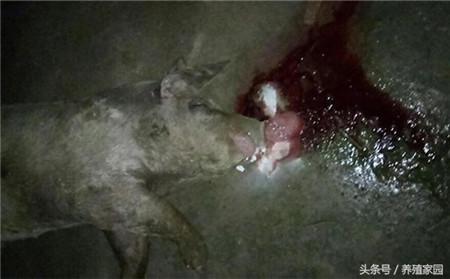 小猪死因不明,死后口鼻流出血色泡沫,到底是何病?