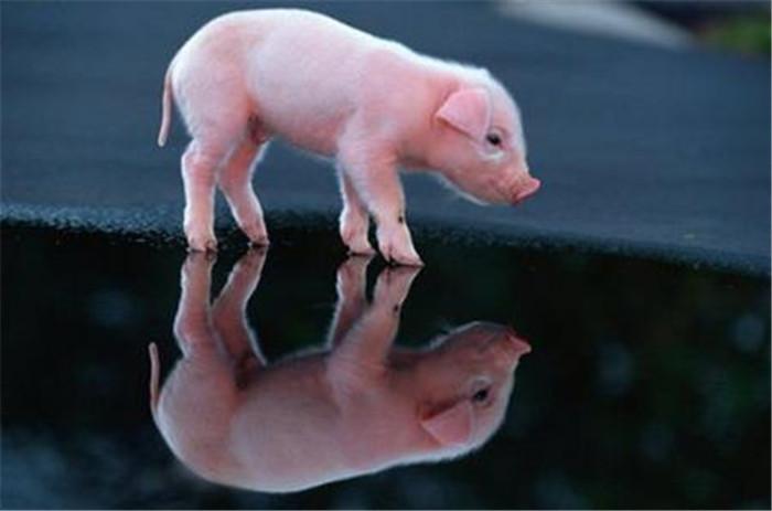 """2018年是开局之年 """"养猪网""""有话要对您说"""