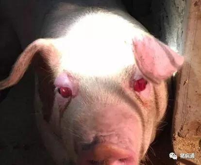 猪得了红眼病真可怕,老兽医教你轻松解决!