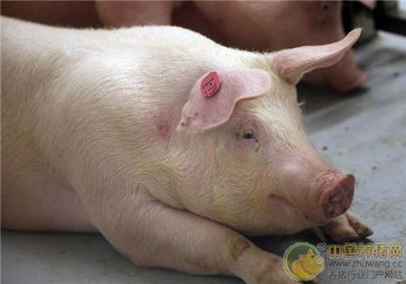 养猪场水泥地面避免产生猪弊病的措施