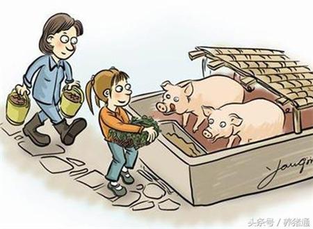未熟饲料千万勿喂猪!不然后果很严重