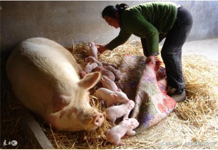 这6大原因均会导致母猪产后无乳,养猪人要注意!
