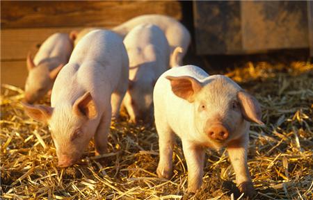 绿叶让我对养猪界重拾信心
