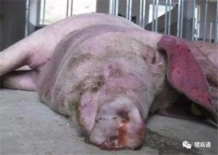 冬季易引发母猪猝死的五大疾病,必须引起养猪人注意!