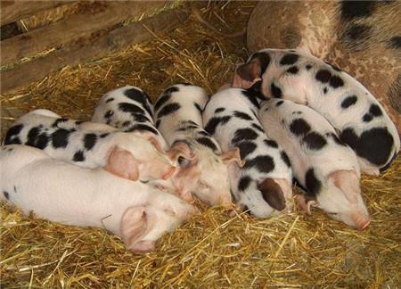 入冬了,猪场应该如何防寒保暖?