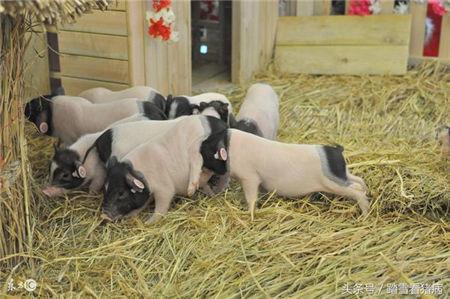 水在养猪中的作用及用量