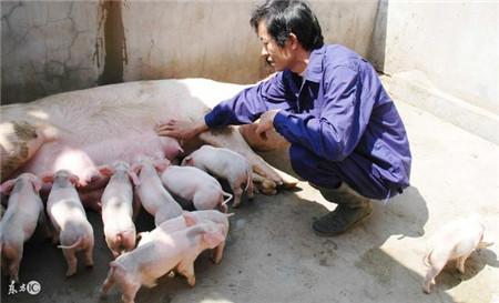 资深养殖户教你冬季养猪九大诀窍,不知道就是损失