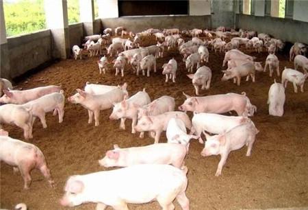 养猪不用愁!母猪高产如何做?20年老猪农谈经验