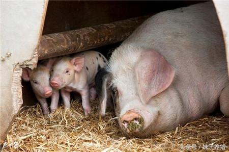 猪场母猪下猪少还有死胎,养猪人怎么办?注意这3点