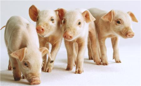 猪价全面上涨 全国均价涨至15.18元公斤