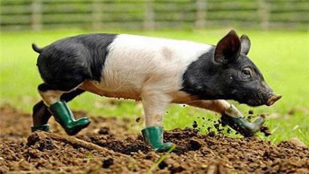 企业提价收猪 专家称降雪导致养殖户惜售