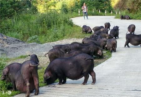 养猪做到这几点,想不赚钱都难!