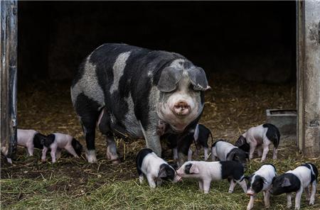 怀孕母猪便秘危害大,养猪人千万提防!