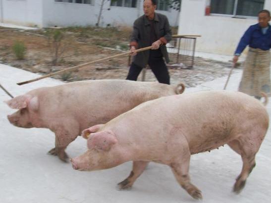 养猪场如何选择种猪?