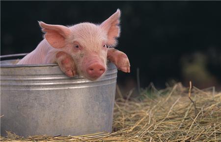 猪价下跌可能只是回调,春节期间猪价看涨不变