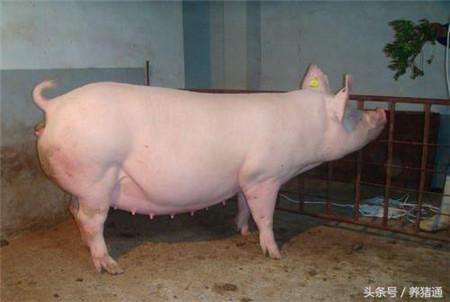 母猪怀孕期间的饲养管理有哪几个关键时期?