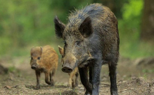 落价消息 1月份后期的猪价上涨不会一帆风顺