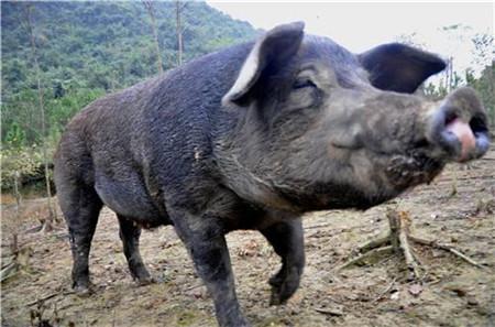 美国为何成为养猪第一大国,看看人家的猪粪你就明白了