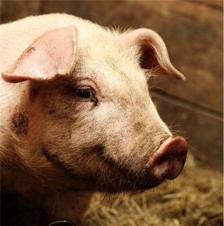 猪舍的的环境控制与改善
