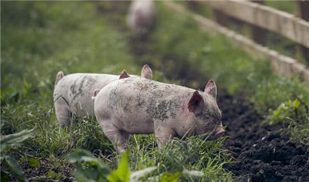 一直以来,养殖户养猪都要看运气,看行情!行情好了都开心,行情不好一年就白忙活了,今天就告诉你一个好方法,让2018年养猪不在被行情牵着走,让养殖户只赚不赔!