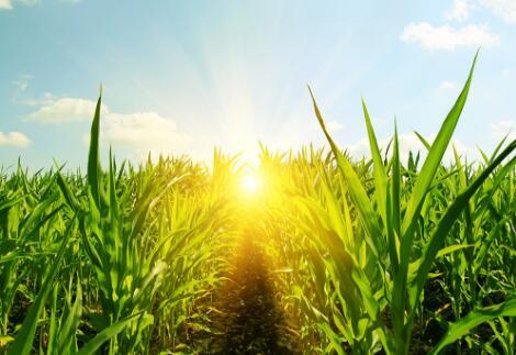 玉米市场产地价格维持坚挺