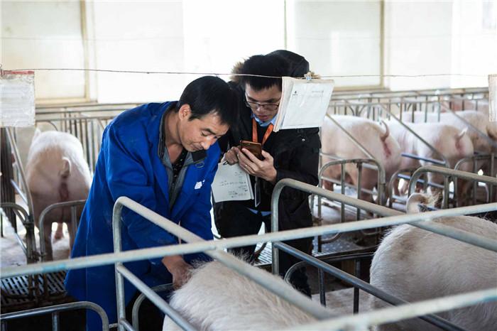 老刘正在教阿里云工程师如何分辨母猪是否适合配种,未来这一工序或许将由机器通过视频监控来自动识别。