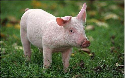 那么在养猪过程中,都有哪些方面会产生浪费现象,影响到养猪利润呢?下面具体来了解一下:为什么你的养猪利润还那么低?如何养猪最赚钱。