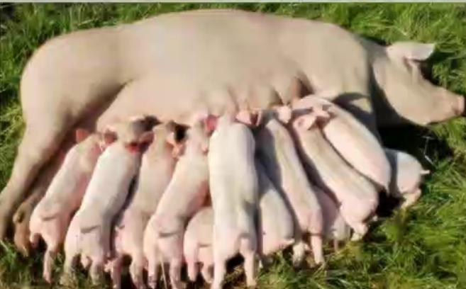 针对母猪久不发情的技巧,养猪人收藏!