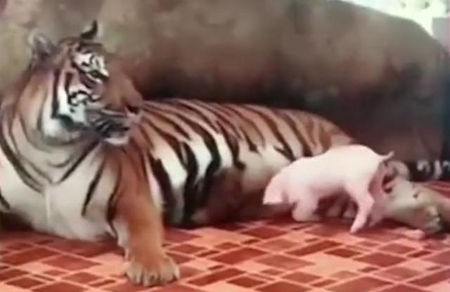 小猪,别急着吃奶,看看妈妈是谁先?