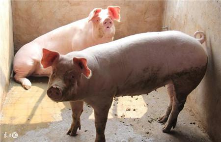 近期生猪价格需求情况怎么样?来看看就知道了