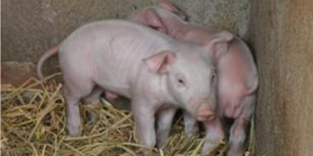继续跌?猪价什么时候涨!供需、屠企、天气影响?
