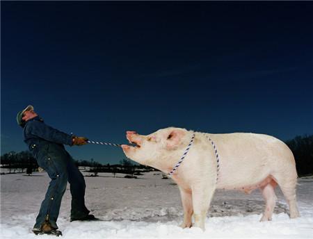 全国只有6个城市没有下跌,未来猪价会如何发展?
