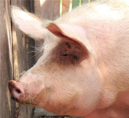这次的猪价下跌,把养猪人摔疼了!你疼了吗?