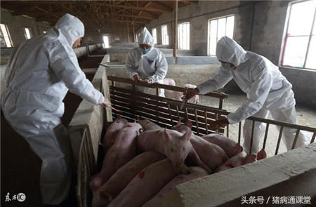 给猪打疫苗的这5个细节,你都知道吗?