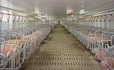 散户要建规模化猪场的必备条件!