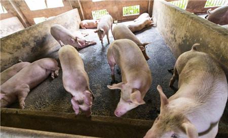 猪价涨势高低受前期压栏影响,养猪户最佳出栏节奏是……