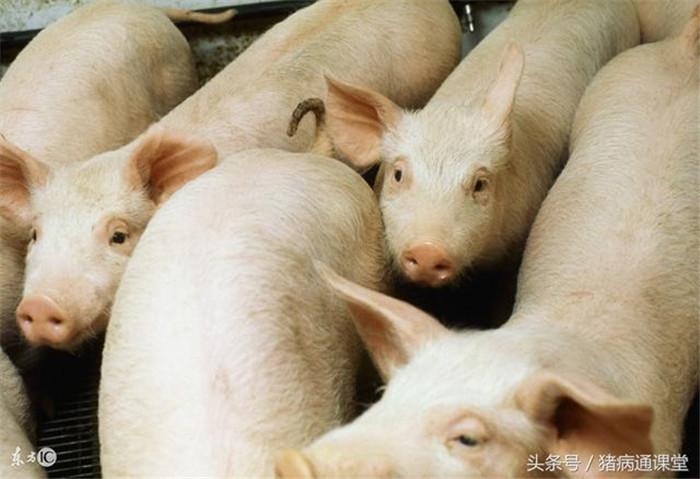 如何提高养猪场猪群的驱虫效果?
