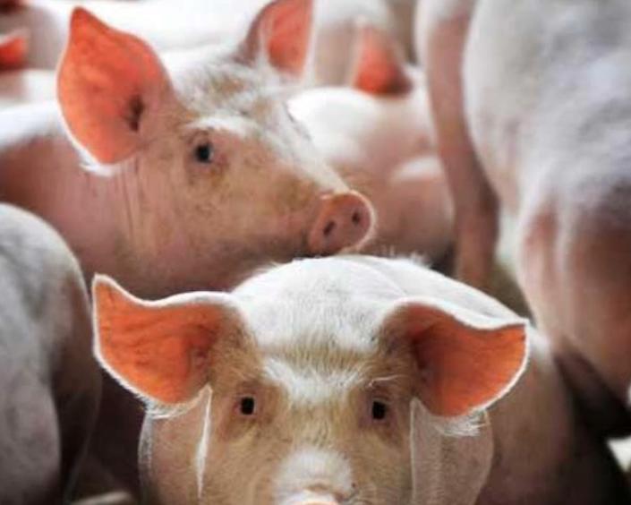 为什么有些人养猪总赔钱?原因其实就一个字!